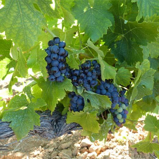 Les raisins du Domaine
